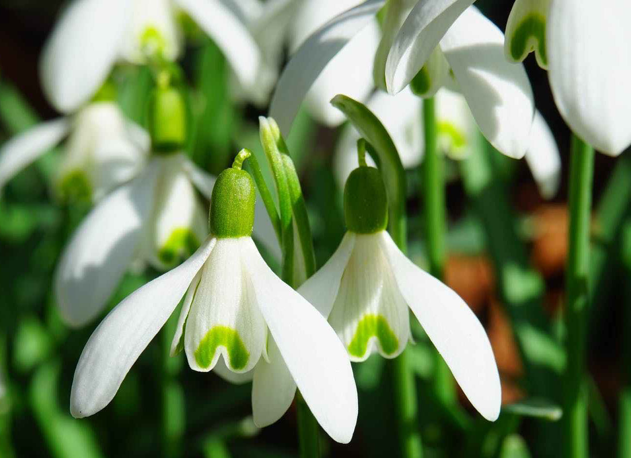 snowdrop-flowers-spring-flower-plant.jpg